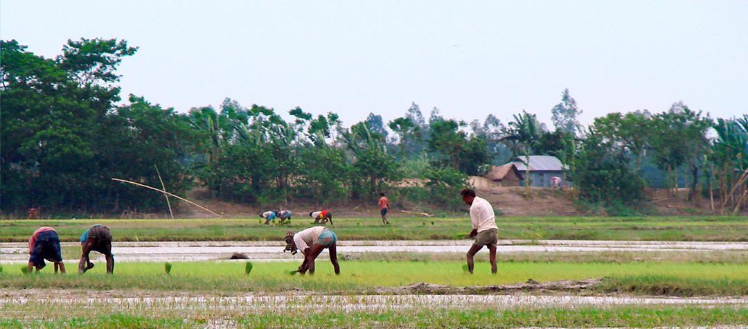 Bangladehs risfält