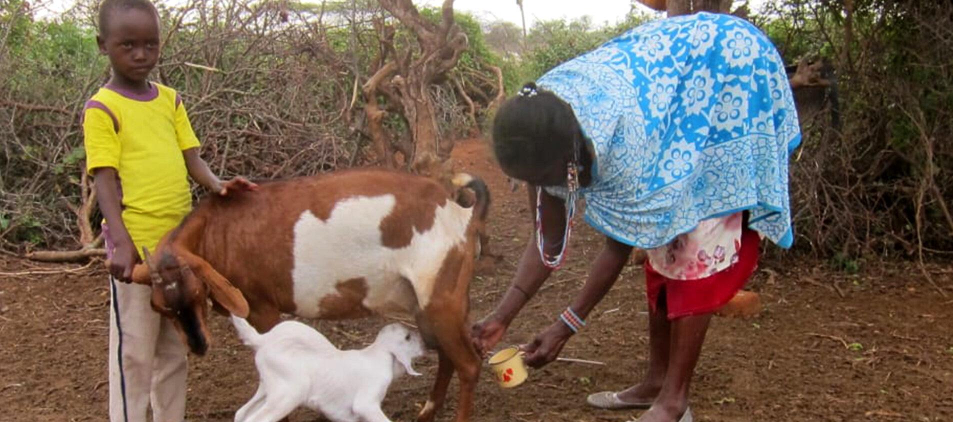 Mpapayio hjälper till att mjölka getterna