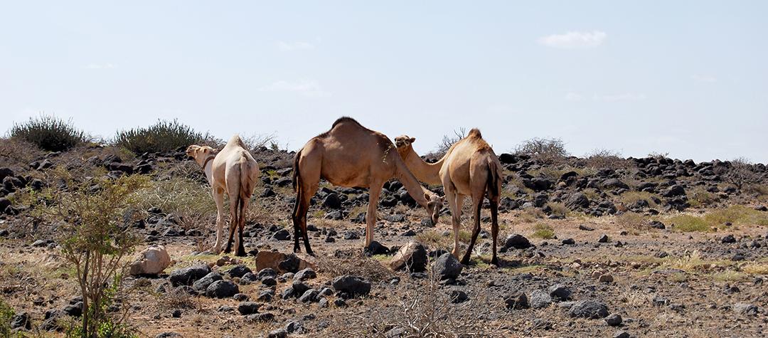 Jillos familj har kameler nu iställey för kor. Kameler klarar torkan bättre.