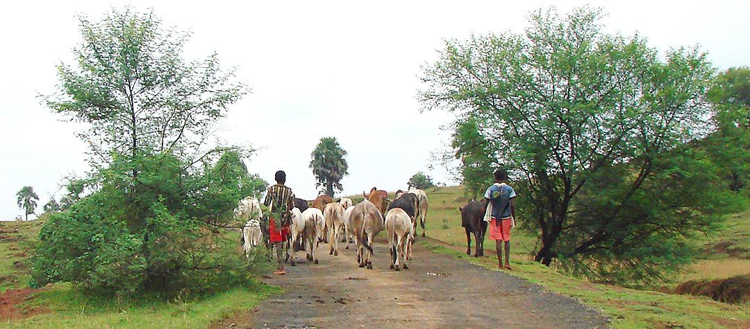 I Indien är det vanligt att barn hjälper till i jordbruket.