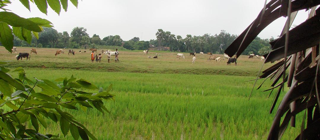 Risodling i Indien