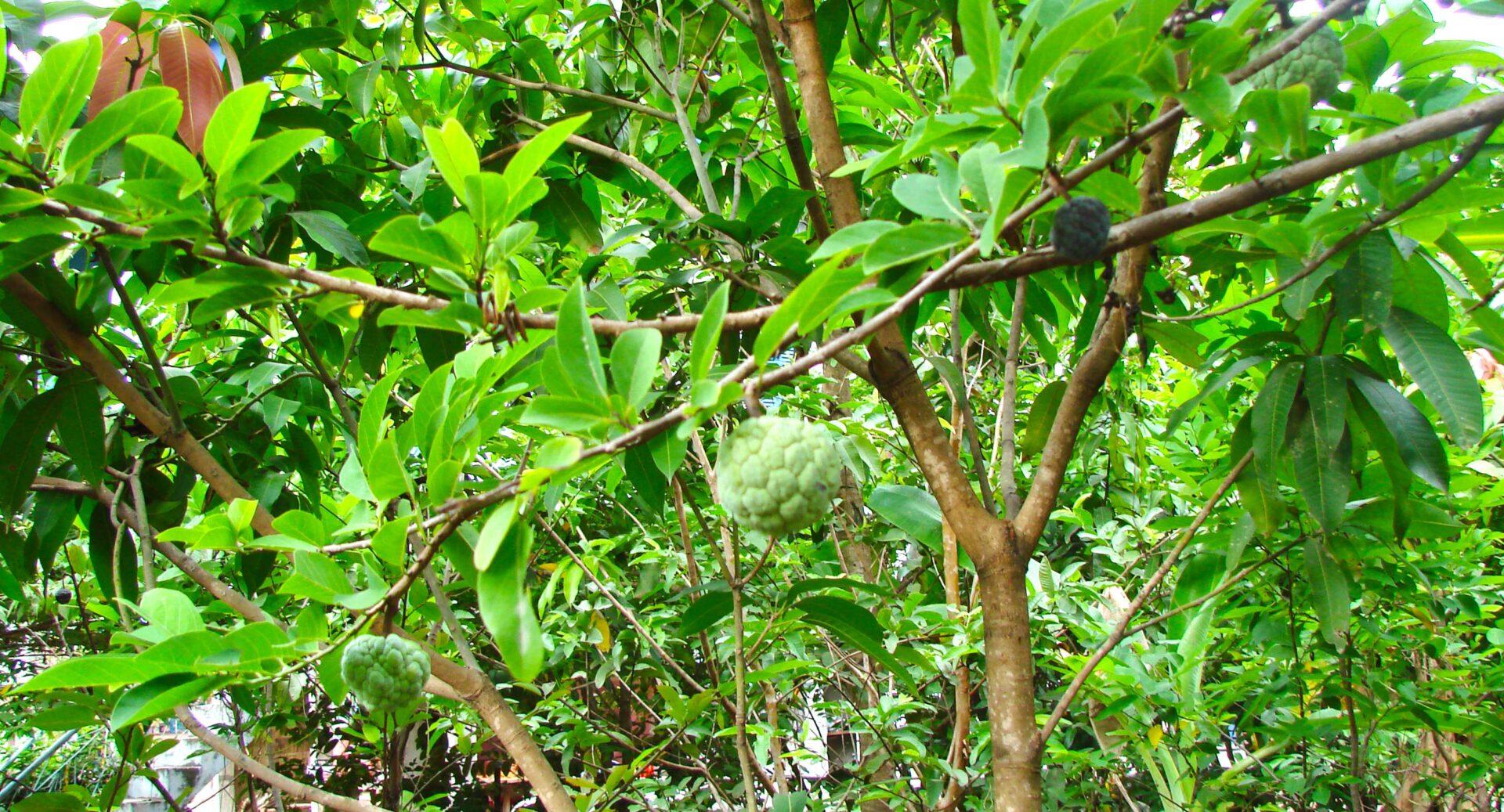 Gröna frukter i ett träd.